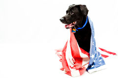 Proud to be an American. Black Labrador mix wearing US flag Stock Photos