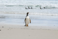 Proud to be Gentoo Penguin Royalty Free Stock Image