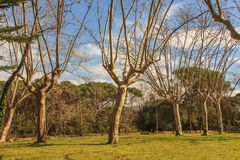 The proud trees with long arms. Stock Image