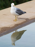 Proud white-gray gull reflected in water Royalty Free Stock Photos