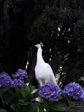 A Proud White Peahen royalty free stock images