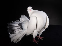 Proud white pigeon Royalty Free Stock Image