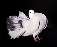 Proud white pigeon Stock Photography