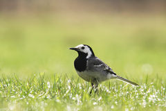 The proud White wagtail. The white wagtail (Motacilla alba) is a small passerine bird in the wagtail family Motacillidae Royalty Free Stock Images