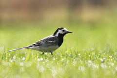 The proud White wagtail. The white wagtail (Motacilla alba) is a small passerine bird in the wagtail family Motacillidae Royalty Free Stock Photography