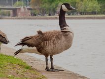 A proud wild goose pauses on the bank stock photos