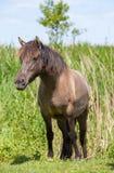 Proud wild Konik horse Stock Photo