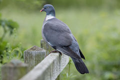 Proud Wood Pigeon Stock Images