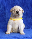Proud yellow labrador puppy laying on the blue background Stock Image