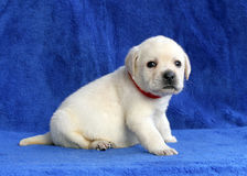 Proud yellow labrador puppy siting on the blue background Stock Photos