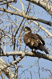 Proud Young Bald Eagle Perched in a Winter Tree Stock Photography