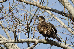 Proud Young Bald Eagle Perched in a Winter Tree Stock Photos