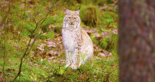 Proud young european lynx sits in the autumn forest Royalty Free Stock Images