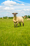 Proudly posing black headed sheep Royalty Free Stock Images