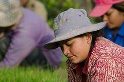 PROVÍNCIA de KANDAL, CAMBOJA - 31 de dezembro de 2013 - trabalho fêmea do arroz Foto de Stock Royalty Free