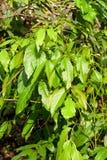 Província do café Plant Fotos de Stock