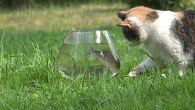 Prova sveglia curiosa del gatto per pescare pesce crucian attraverso il vetro dell'acquario closeup 4K archivi video