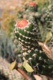 Provacative czerwony kaktusowy kwiat wokoło kwitnąć Zdjęcie Stock