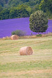 Provance lavander field Royalty Free Stock Image