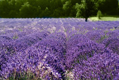 Provance lavander field Stock Photo