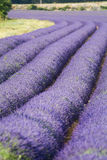 Provance lavander field Stock Photography