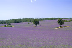 Provance lavander field Stock Image