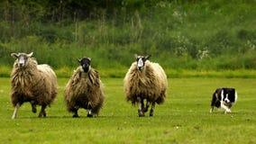 Prove di cane pastore Immagini Stock Libere da Diritti