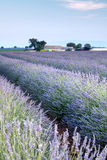 Provencal field of lavender. Vieuw on rows of scented flowers in the lavender fields of the French Provence near Valensole Stock Images