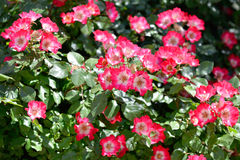 Provencal flowers Royalty Free Stock Photos