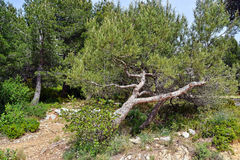 Provencal forest Stock Photography