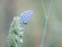 Provencal Short Tailed Blue butterfly - Cupido alcetas. At rest royalty free stock photo