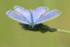 Provencal short-tailed blue Royalty Free Stock Photos