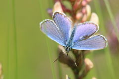 Provencal short-tailed blue Stock Image