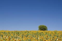 provence śródpolny słonecznik Fotografia Stock
