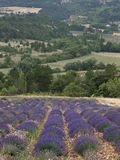 Provence. Lavander fields in Sault, Provence Stock Image