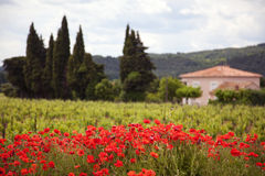 At the Provence. Vineyard and farmhouse with cypress trees at the provence, focus on poppy field in foreground Royalty Free Stock Photo