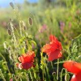 Provence blomma Arkivfoton