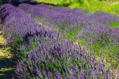 Provence - campo no Gordes, França da alfazema Fotografia de Stock