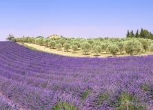 Provence: campos y olivos de la lavanda Foto de archivo libre de regalías