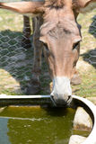 Provence donkey drinking water Stock Images