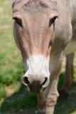 Provence donkey portrait Royalty Free Stock Photography