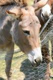 Provence donkey portrait Royalty Free Stock Photo
