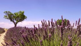 Provence, France, Fields of blooming lavender flowers - slow motion clip. France, season of Fields of blooming lavender flowers in Valensole in French Provence stock video