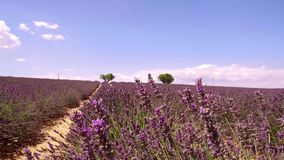 Provence, France, Fields of blooming lavender flowers - slow motion clip. France, season of Fields of blooming lavender flowers in Valensole in French Provence stock footage
