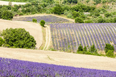 Provence, France. Lavender field in Provence, France Royalty Free Stock Photography