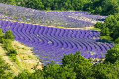 Provence, France. Lavender field in Provence, France Stock Image