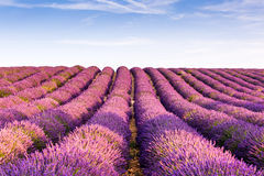 Provence, France, Valensole Plateau with purple lavender field. Flowering in summertime Stock Images