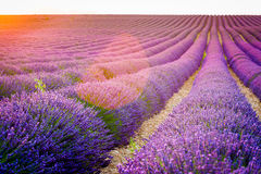 Provence, France, Valensole Plateau with purple lavender field Stock Photography