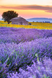 Provence, France, Valensole Plateau with purple lavender field. Flowering in summertime. Farmhouse and sunflowers Stock Photography