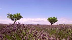 Provence, Francja, pola kwitnący lawendowi kwiaty - zwolnione tempo klamerka zdjęcie wideo